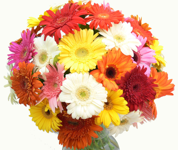 Mixed Colour Gerberras For Flower Delivery.